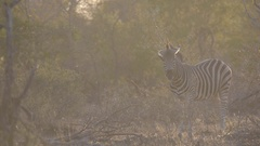 zebra standing in the bush with the morning sunrise providing a warm glow  Stock Footage