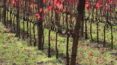Vineyard with red vine leaves in autumn Stock Footage