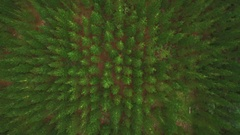Plantation pine trees from the air directly above Stock Footage