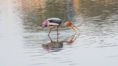 Painted storks with perfect reflection in water walking Stock Footage