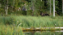 European brown bear in a forest in Finland Stock Footage