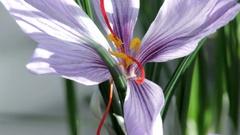 Saffron crocus flowering purple Stock Footage