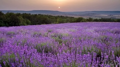 Nature video of lavender meadow Stock Footage