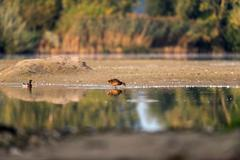 Foraging female mallard at the edge of water. Stock Photos