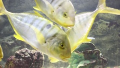 Golden trevally (Gnathanodon speciosus). Marine fish  in fish tank or aquarium Stock Footage