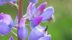Wild lupin with bee in Norway super close up Stock Footage