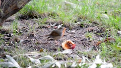 Erithacus rubecula red robin feeding on the ground Stock Footage