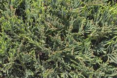Fresh fir/spruce,pine/ branch Stock Photos