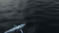 Animation of Shark in the Sea Stock Footage