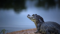 Typical Brasilian Caiman Stock Footage