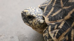 Tortoise close up shot of head and neck while breathing Stock Footage