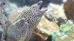Spotted moray in fish tank or aquarium, rea ltime Stock Footage