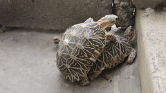 Star tortoise mating in HD Stock Footage
