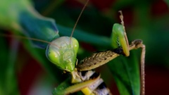 Mantis eat prey on a branch of palm trees Stock Footage