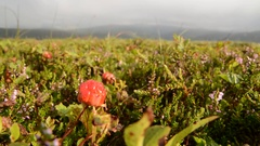 Cloudberry (Rubus chamaemorus) fruit on mountain with landscape Stock Footage