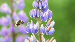 Wild lupin with bee in Norway Stock Footage
