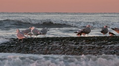 Herring gulls on breakwater at sunset along the North Sea coast Stock Footage