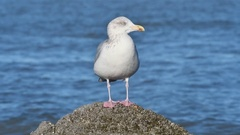 Yawning herring gull in winter plumage perched on rock along North Sea coast Stock Footage
