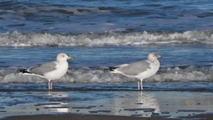 Two herring gulls, adult in non-breeding plumage and third winter juvenile Stock Footage