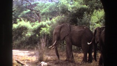 1969: african elephants walking in the shade on the savanna ANGOLA Stock Footage