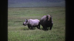1969: two rhinoceros out in an open field during the daylight SOUTH AFRICA Stock Footage