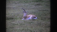 1969: a gazelle sitting down and a flock of water birds taking off SOUTH AFRICA Stock Footage