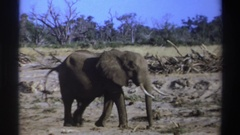 1969: adult gray elephant walks and excretes on barren land with trees in the Stock Footage