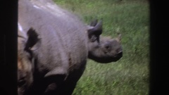 1969: two huge rhinoceros standing in the grasses in sunshine SOUTH AFRICA Stock Footage