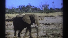 1969: elephant walking near water hole and defecating SOUTH AFRICA Stock Footage
