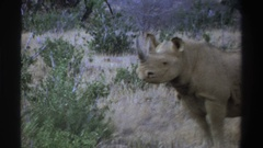 1969: rhinos up close (they are horny) SOUTH AFRICA Stock Footage
