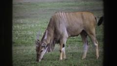 1969: beautiful deer grazing in an open field. SOUTH AFRICA Stock Footage