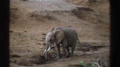 1969: poor thirsty elephant SOUTH AFRICA Stock Footage