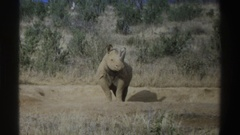 1969: grey rhino grazing in a saharan field SOUTH AFRICA Stock Footage