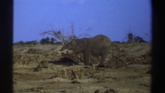 1969: munching on the local vegetation. SOUTH AFRICA Stock Footage