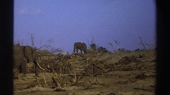 1969: herd of elephants searching for food in a dry and desolate environment Stock Footage