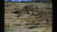 1969: lone elephant standing in the middle of grasslands SOUTH AFRICA Stock Footage