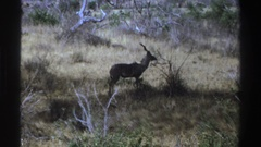 1969: the gazelle cautiously scouting the area. SOUTH AFRICA Stock Footage