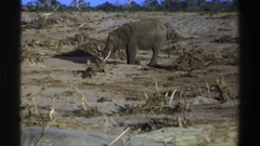 1969: a lonesome elephant in the wild. SOUTH AFRICA Stock Footage