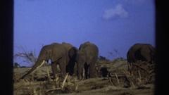 1969: three gray elephants graze among the dead brush of an arid landscape SOUTH Stock Footage
