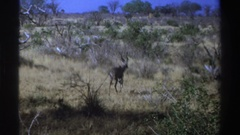 1969: two different animals stalking through the wild grass SOUTH AFRICA Stock Footage