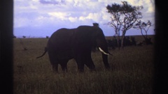1969: the elephant grazing in the wild. NIGERIA Stock Footage
