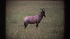 1969: a gazelle in africa twitches its ear and walks away NIGERIA Stock Footage