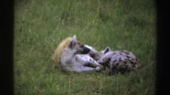 1969: black spotted gray animal with brown mane lifts head and lies down by Stock Footage
