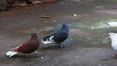 Pigeons in front of camera Stock Footage