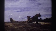 1969: the three lion sitting very relaxed in sunny atmosfear after one lion go Stock Footage