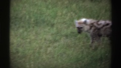 1969: two adult hyenas in grass with some food in one of their mouths NIGERIA Stock Footage