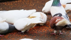 Pigeons peck grain Stock Footage
