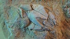 Prehistoric life forms,  MICRO VIEW of rotating matrix Pentremites Stock Footage