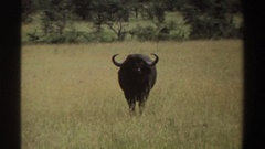1969: a large horned animal looking at a camera, standing in a grassy area Stock Footage