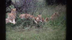 1969: pride of lions laying casually in the bush NIGERIA Stock Footage